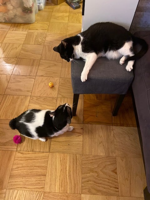 two black and white cats playing